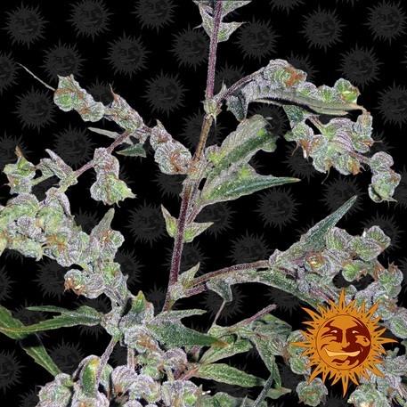 Australian Bastard Cannabis seed bank