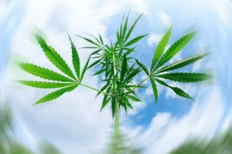 cannabis producers and consumers